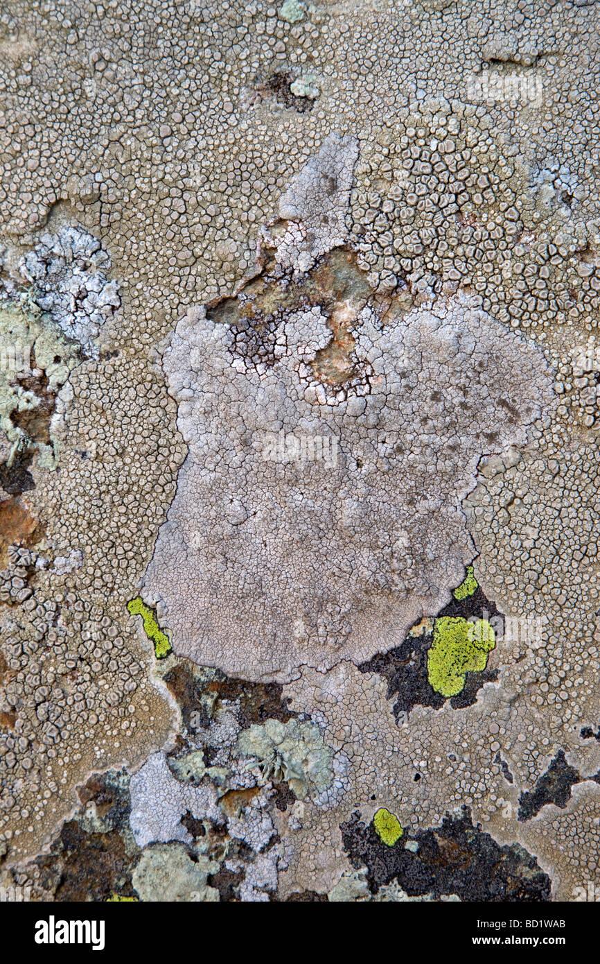crabs eye lichen Ochrolechia parella crawfish lichen light crottle - Stock Image