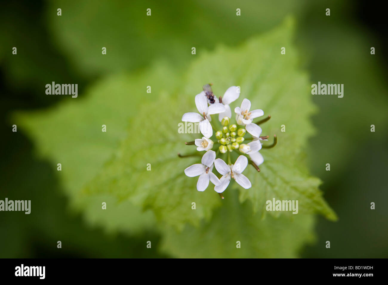 garlic mustard Alliaria petiolata with insect on flower Stock Photo