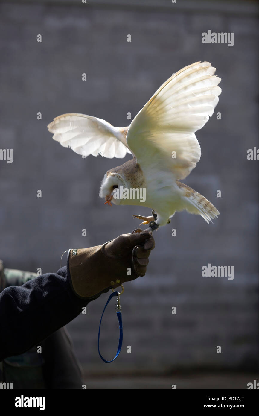 captive barn owl with handler - Stock Image