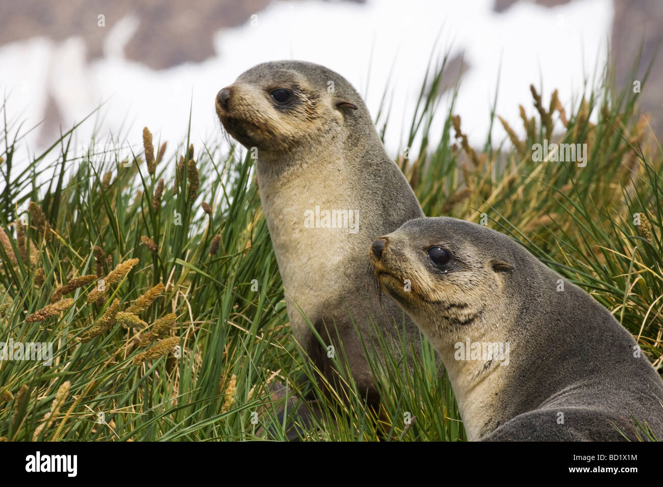 Antarctic fur seal pups Arctocephalus gazella at Gold Harbour South Georgia Antarctica - Stock Image