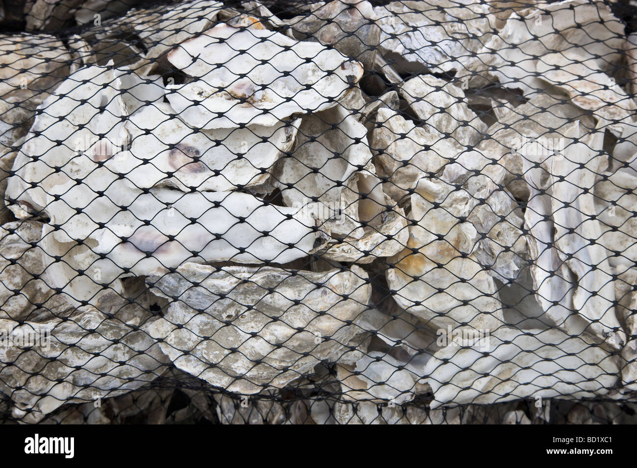 Oyster Shells in bags prepared for reseeding beds. - Stock Image