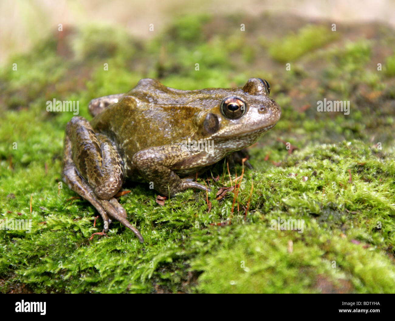 Common Frog, European Common Frog or European Common Brown Frog, Rana temporaria, Ranidae. A Common British Amphibian. Stock Photo