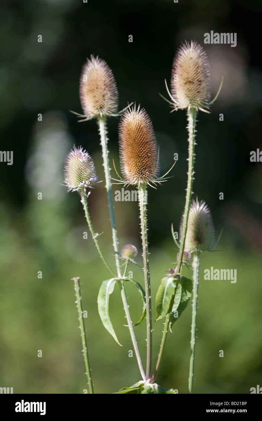 Dipsacus fullonum teasel - Stock Image