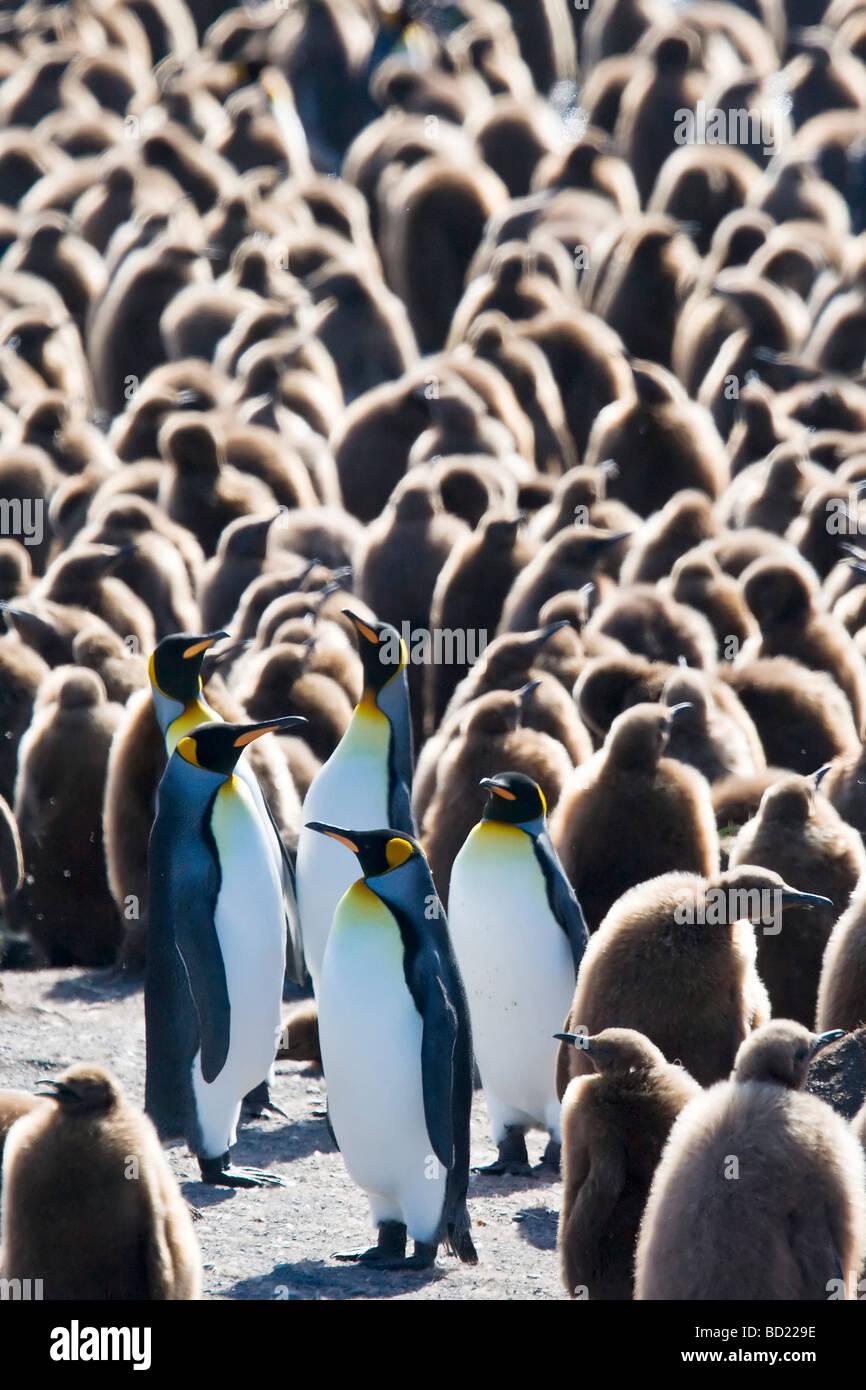 King Penguis, Gold Harbour, South Georgia, Antarctica - Stock Image