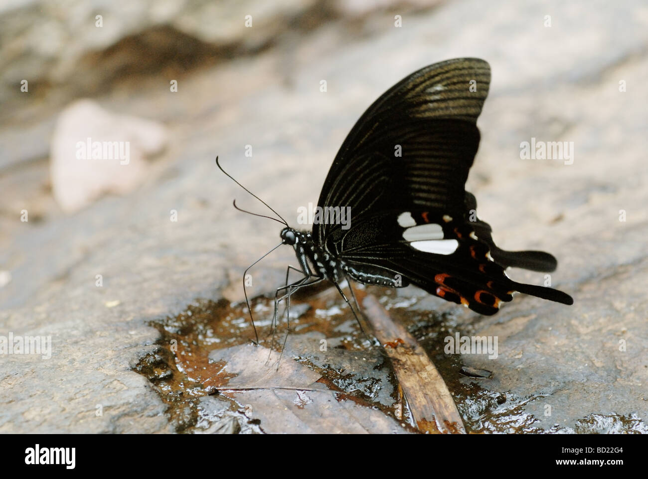 Red Helen (Papilio helenus) - a large tropical swallowtail species - Stock Image