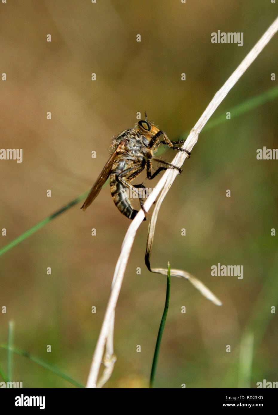Common Awl Robberfly, Neoitamus cyanurus  Syn. Asilus cyanurus, Asilinae, Asilidae, Diptera - Stock Image