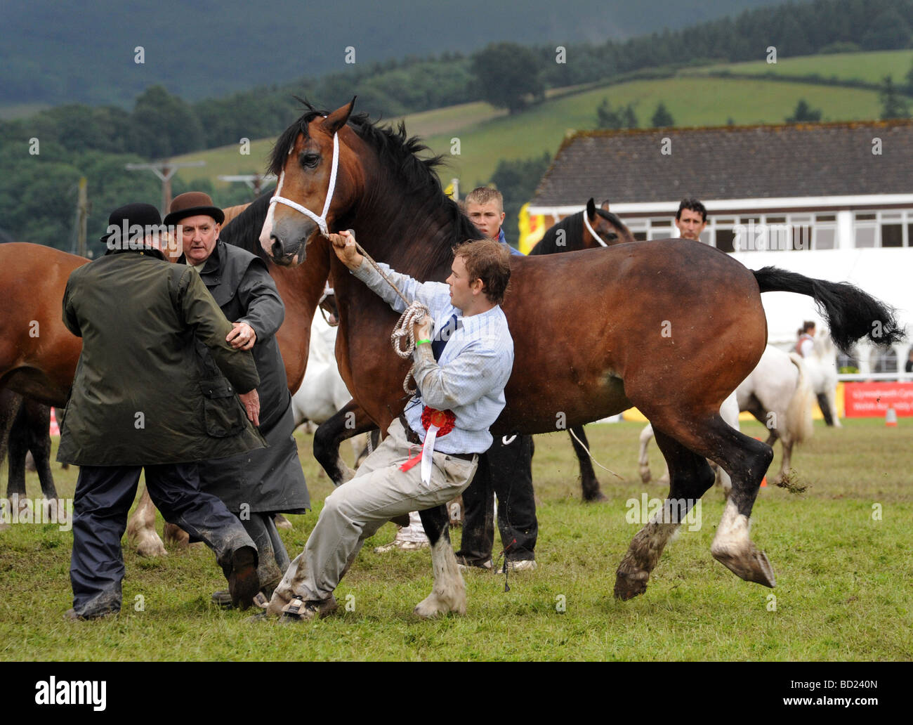Judges move away from frisky 3 year old mare winner RWS Royal Welsh Show 2009 - Stock Image