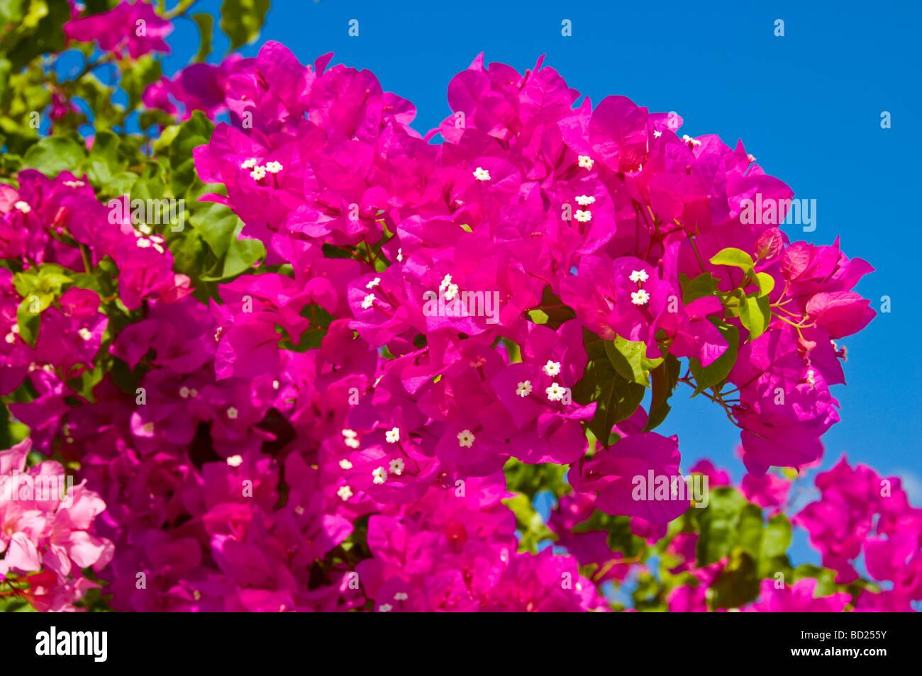 Pink mediterranean flower stock photos pink mediterranean flower pink bougainvillaea on the mediterranean greek island of kefalonia greece gr stock image mightylinksfo