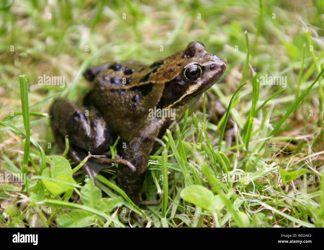 Common Frog, European Common Frog or European Common Brown Frog, Rana temporaria, Ranidae. A Common British Amphibian. - Stock Image