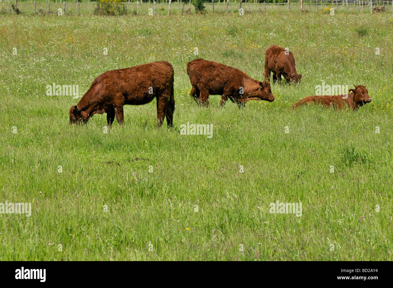 Four calves in a field, France - Stock Image