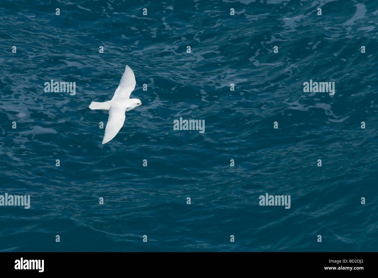 Snow Petrel Pagadroma nivea in flight against southern ocean Antarctica - Stock Image