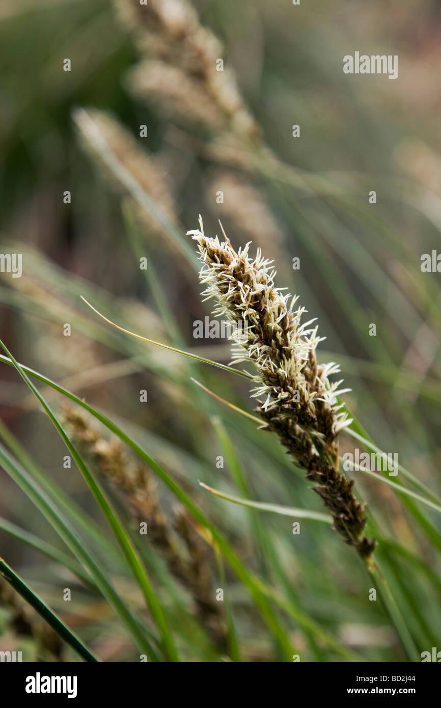 greater tussock sedge Carex paniculata - Stock Image