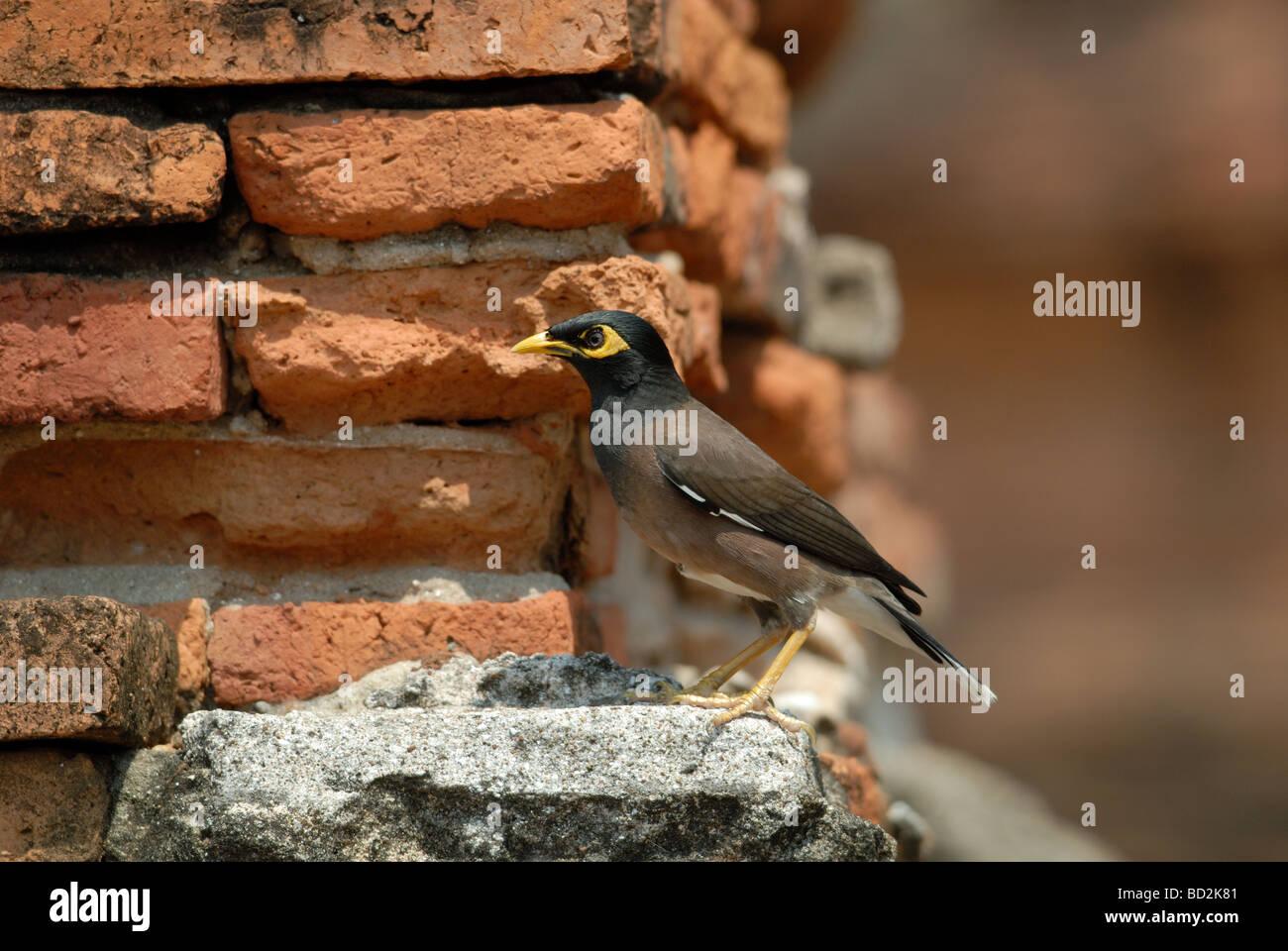 Common Myna / Indian Myna (Acridotheres tristis) - Stock Image