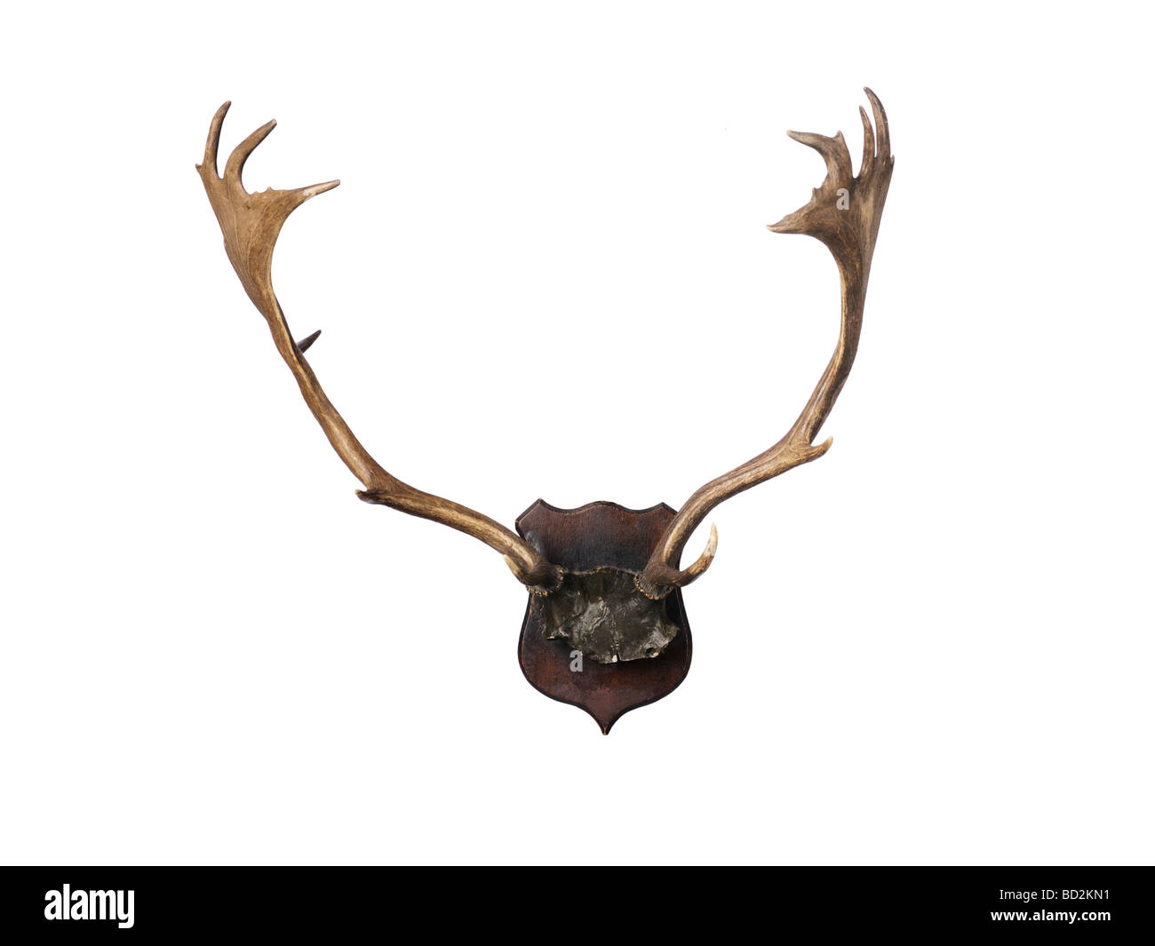 Antlers horn - Stock Image