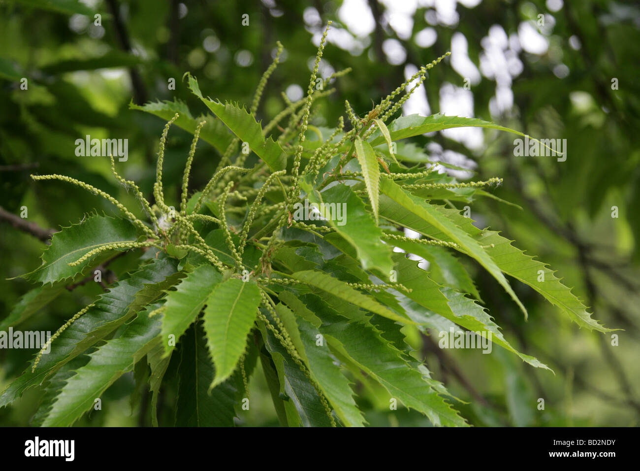Sweet Chestnut Tree Flowers, Castanea sativa, Fagaceae, UK, Europe Stock Photo