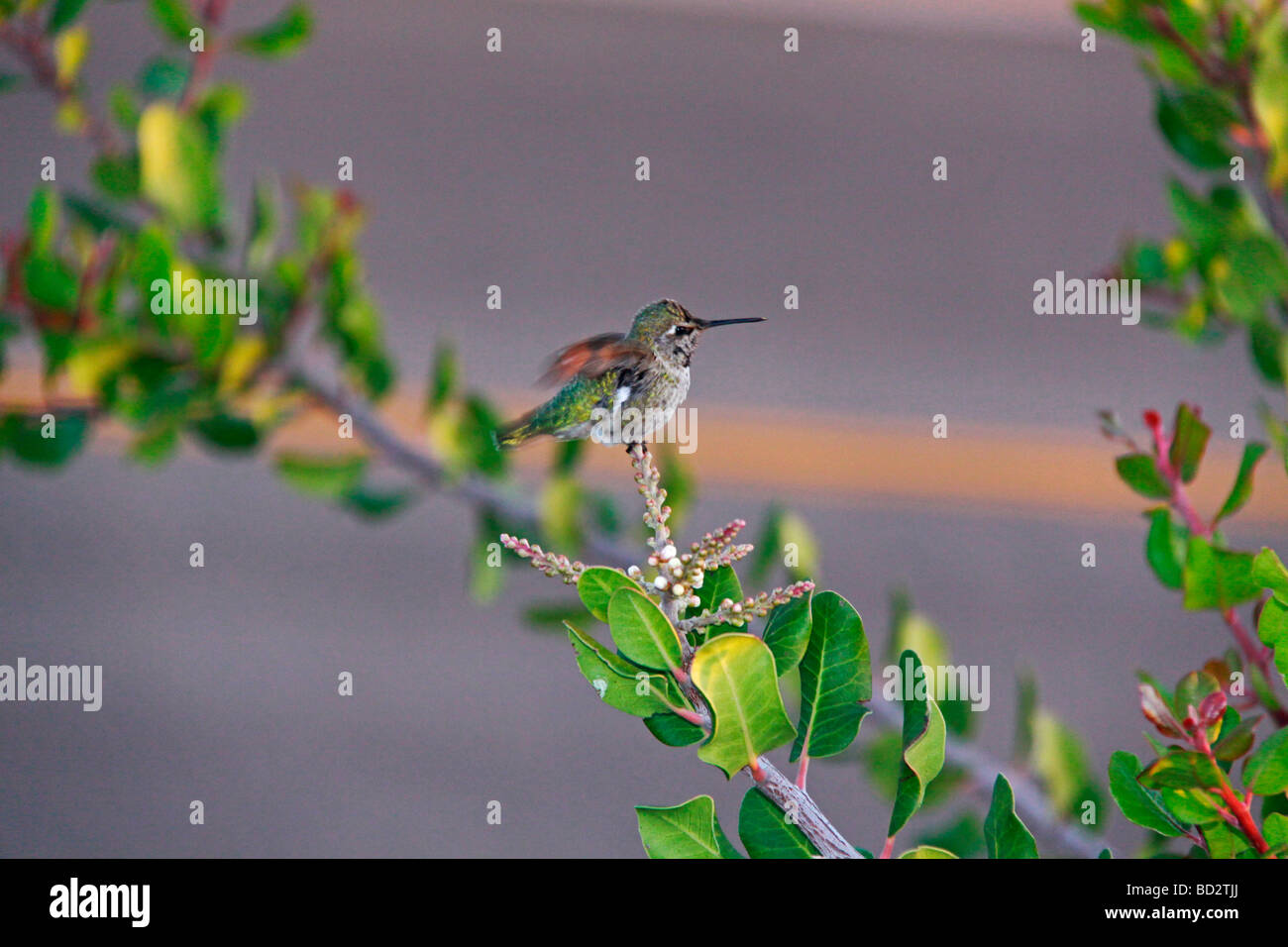 Cute little humming bird perched on the tree top. - Stock Image