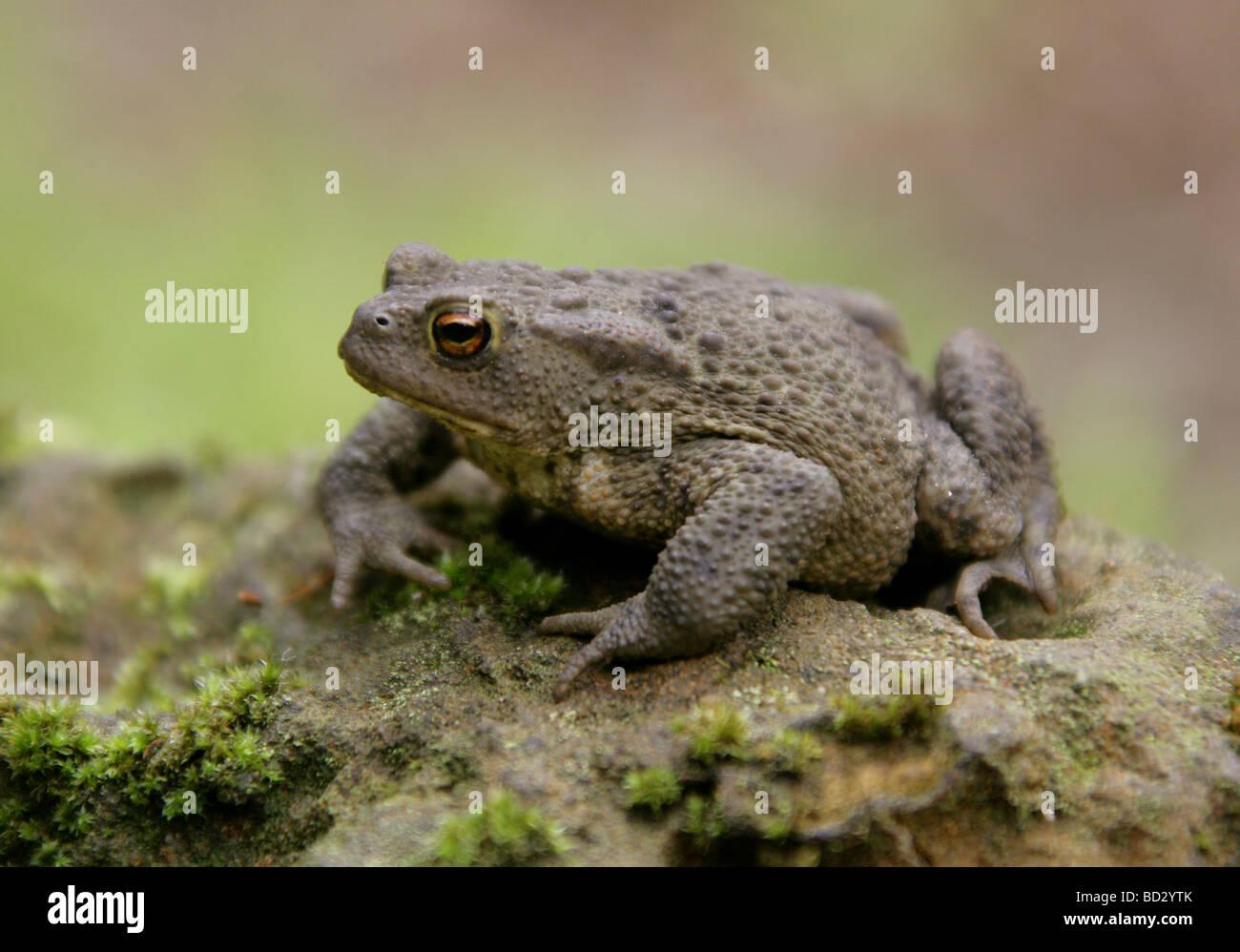 European or Common Toad, Bufo bufo, Bufonidae - Stock Image
