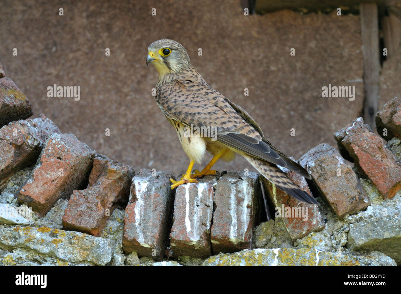 Common Kestrel (Falco tinnunculus). Adult close to nest - Stock Image