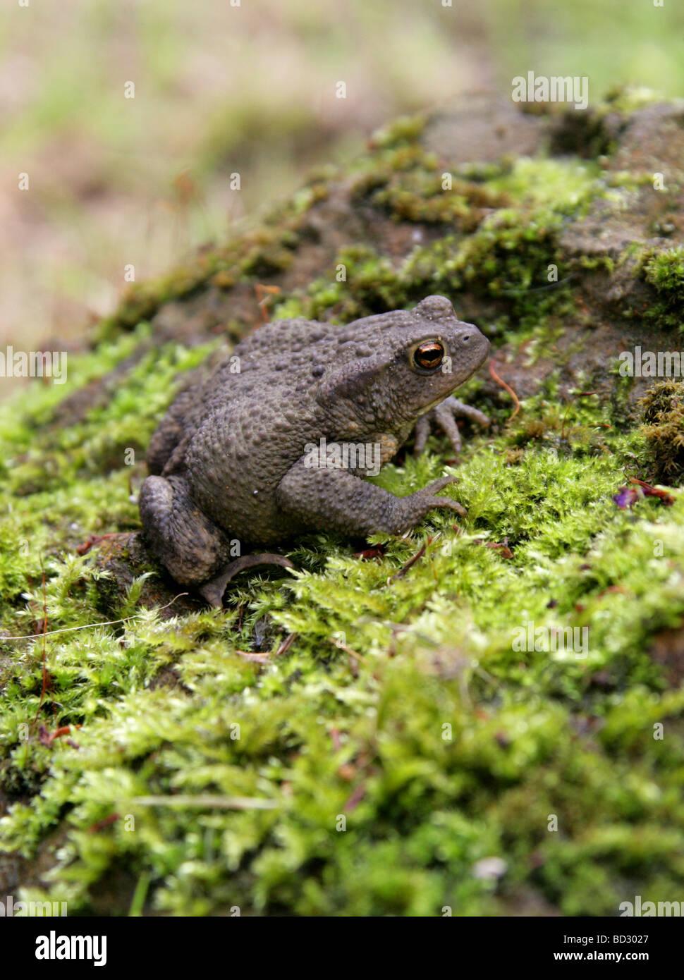 European or Common Toad, Bufo bufo, Bufonidae. UK Stock Photo