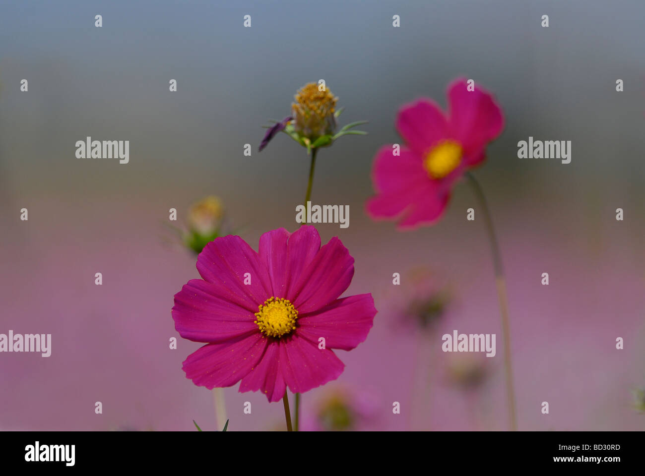 Cosmos flowers are compositae originating in Argentina, but spread to South Africa by British troups in 1899 in - Stock Image