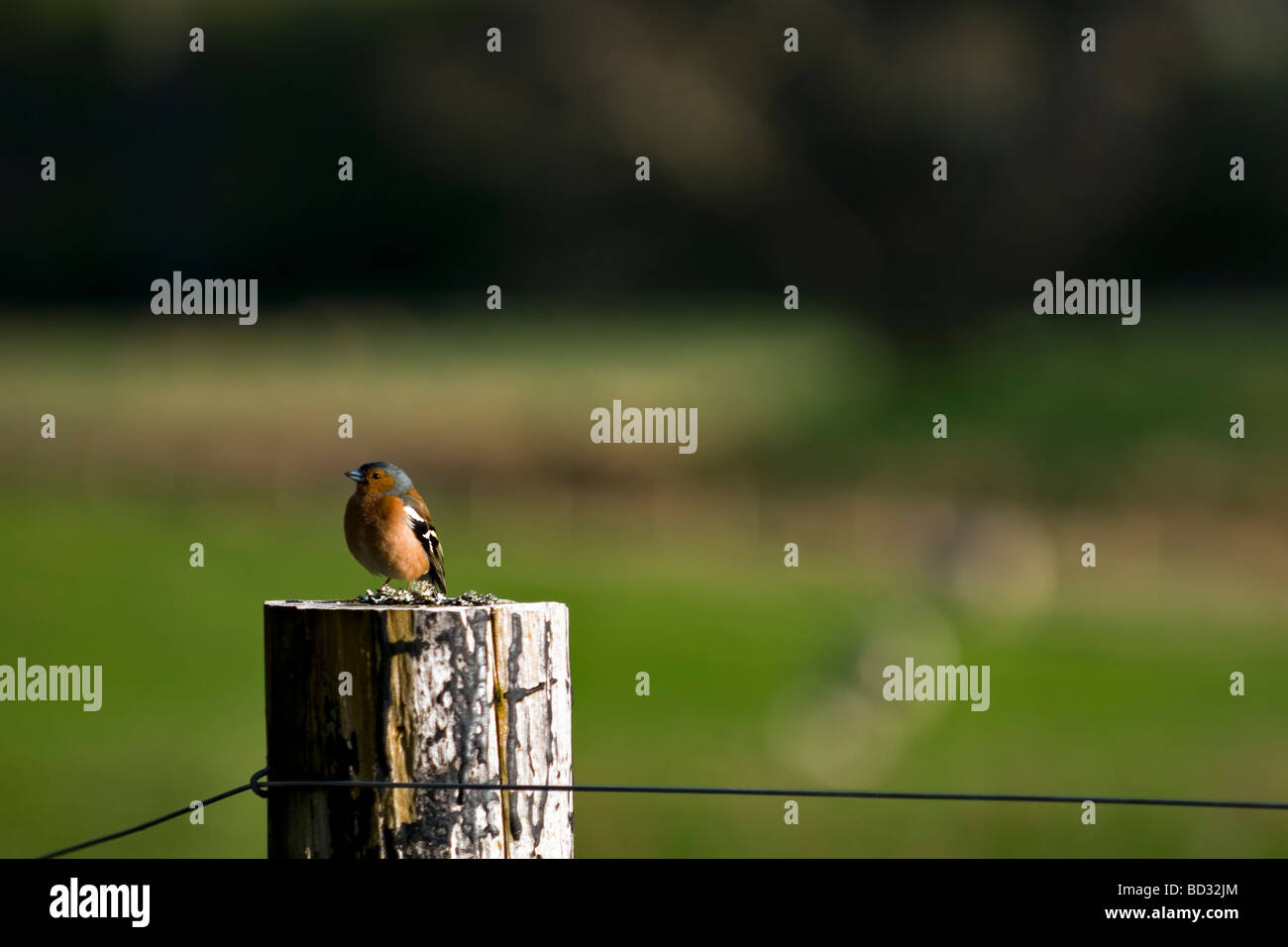 Male chaffinch bird sat on fence post, taken in Glen Cassley in Northern Scotland - Stock Image