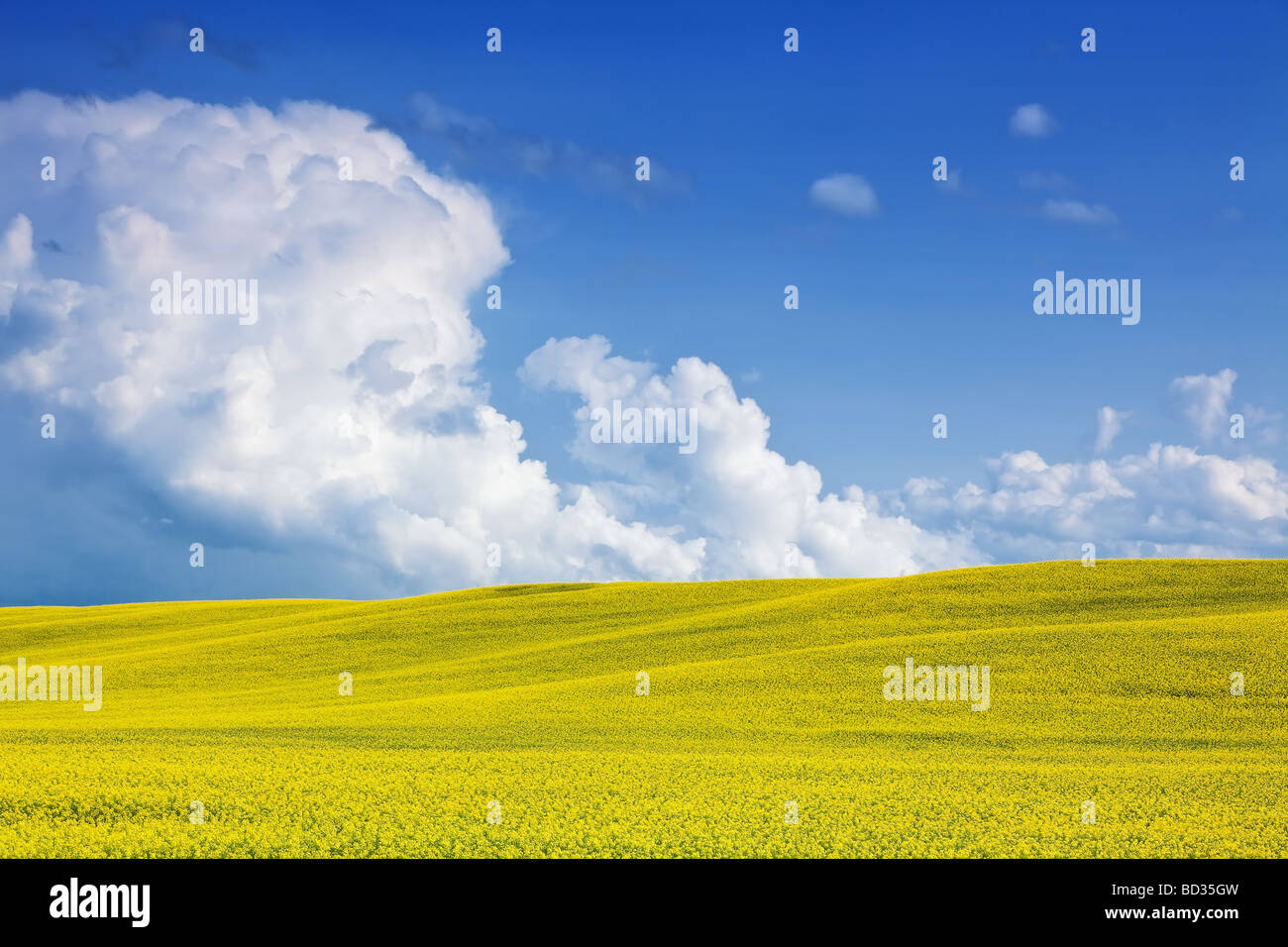 Canola Field and Towering Cumulus Clouds on the Canadian Prairies, Pembina Valley, Manitoba, Canada. - Stock Image