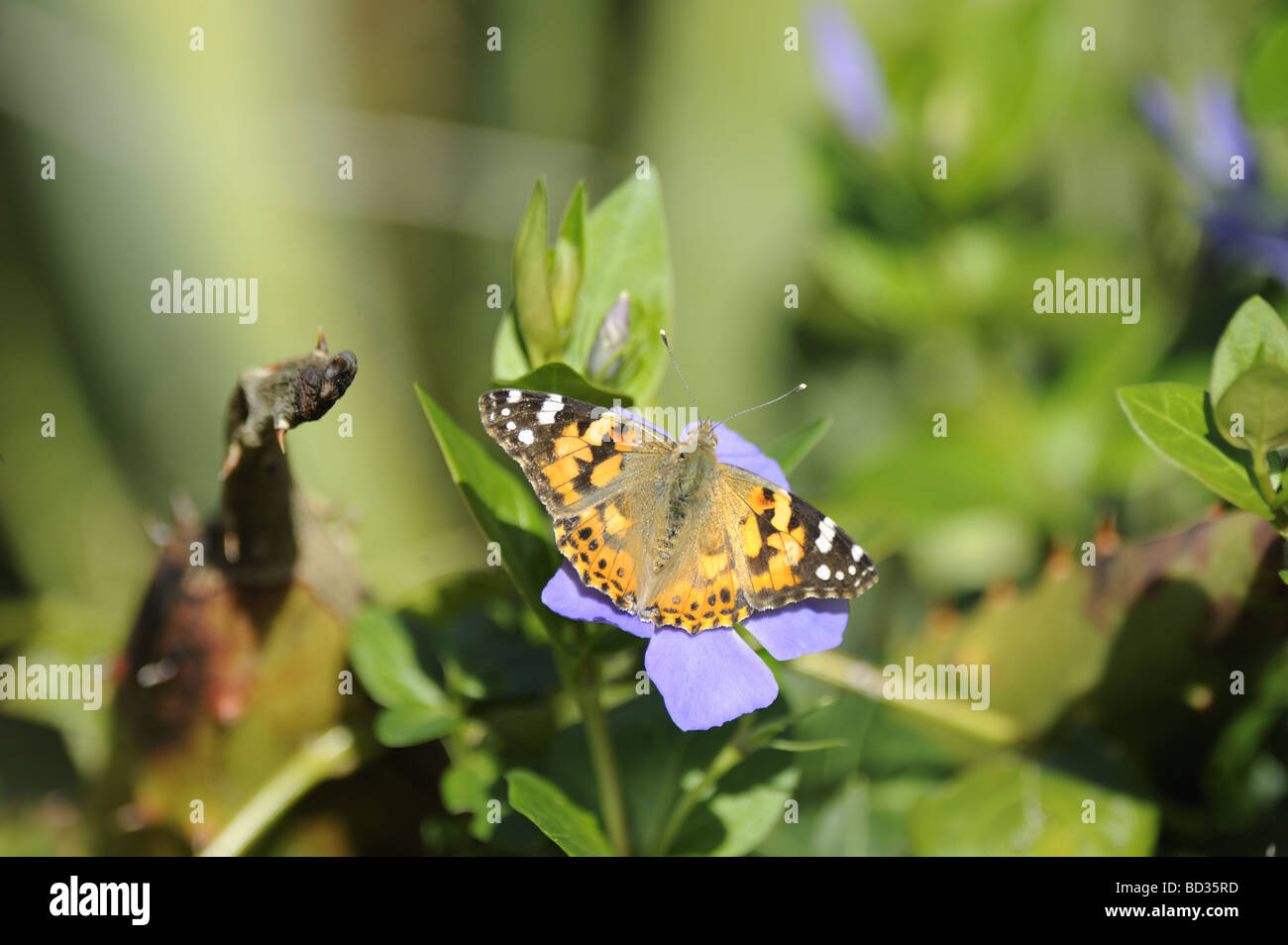 Brush Footed Butterfly -Vanessa Cardui - Stock Image