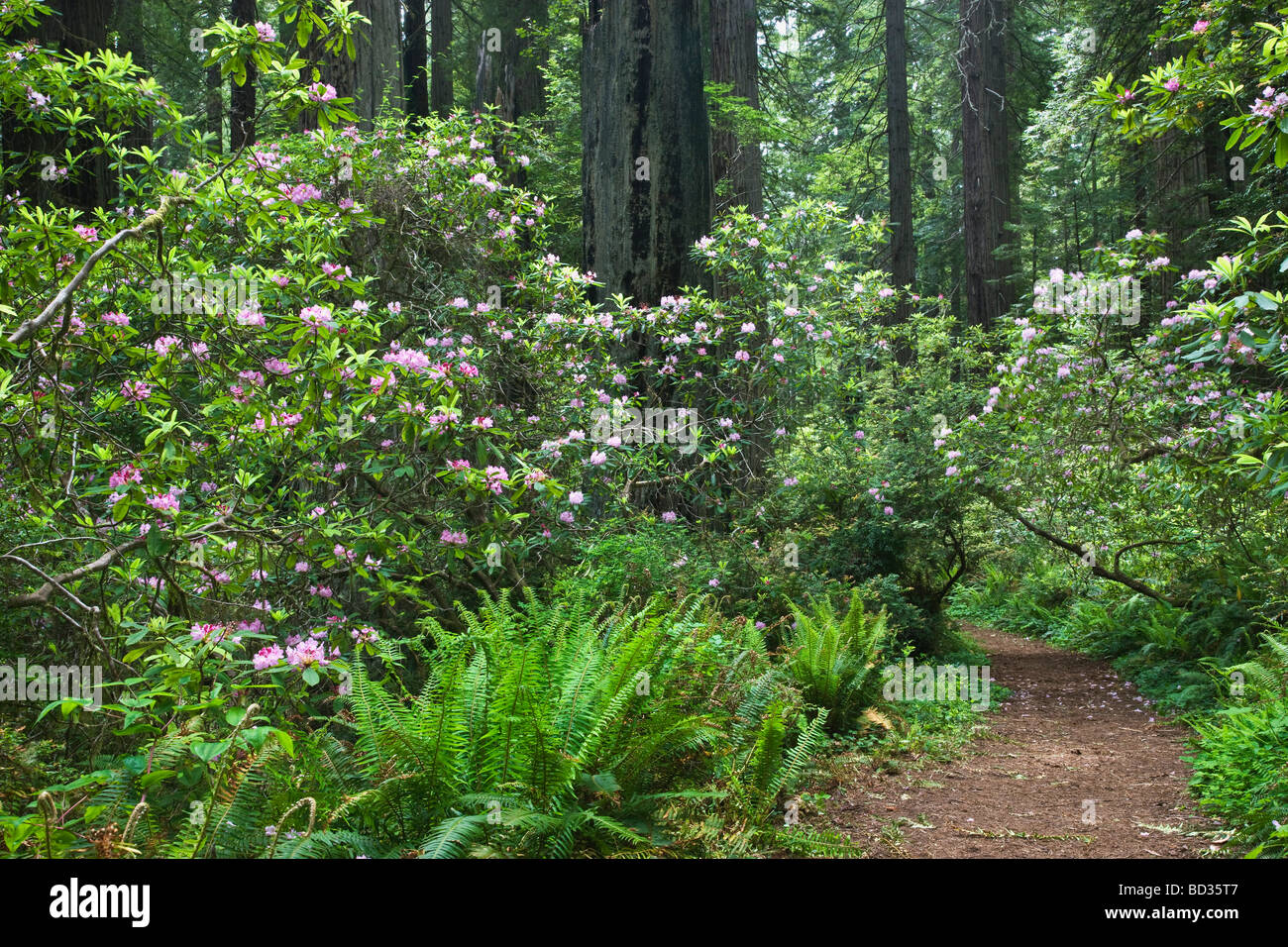 Rhododendrons flowering, Redwood Forest. - Stock Image