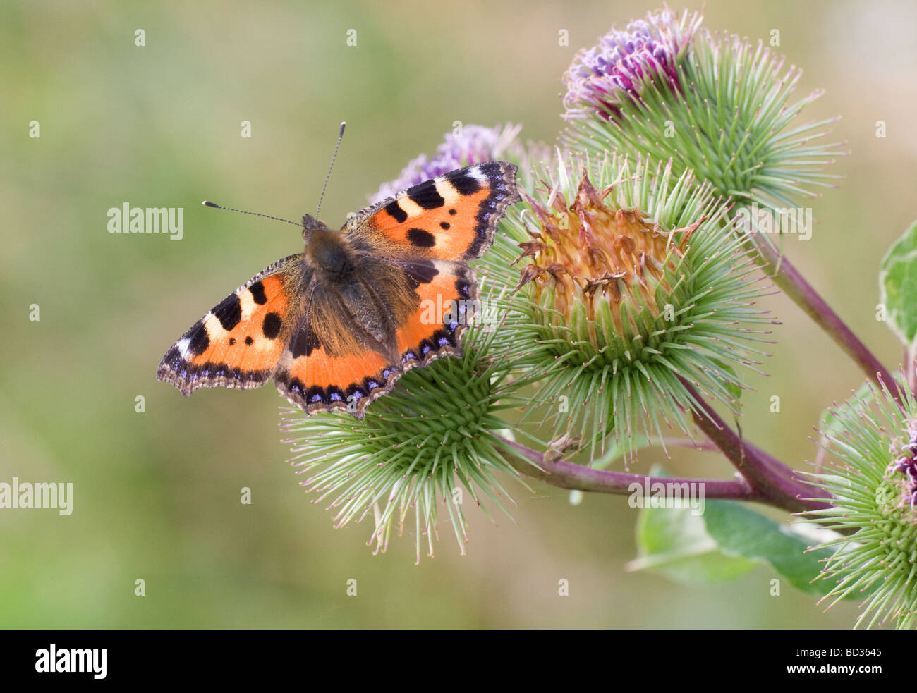 Small Tortoiseshell butterfly (aglais urticae) settled with wings open on a burdock plant - Stock Image