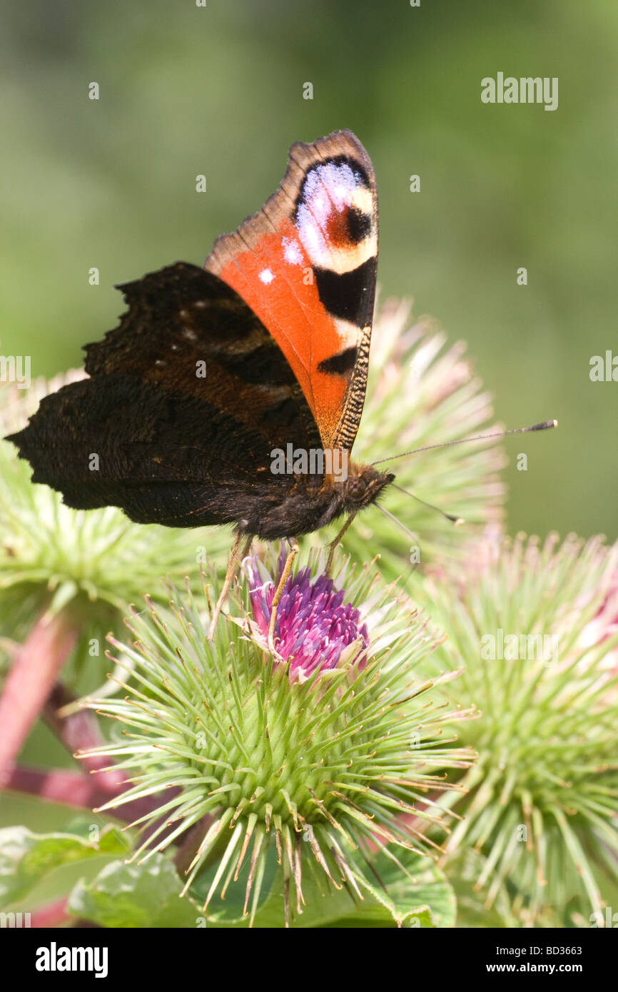 Peacock butterfly (inachis io) settled with wings open on a burdock plant Stock Photo