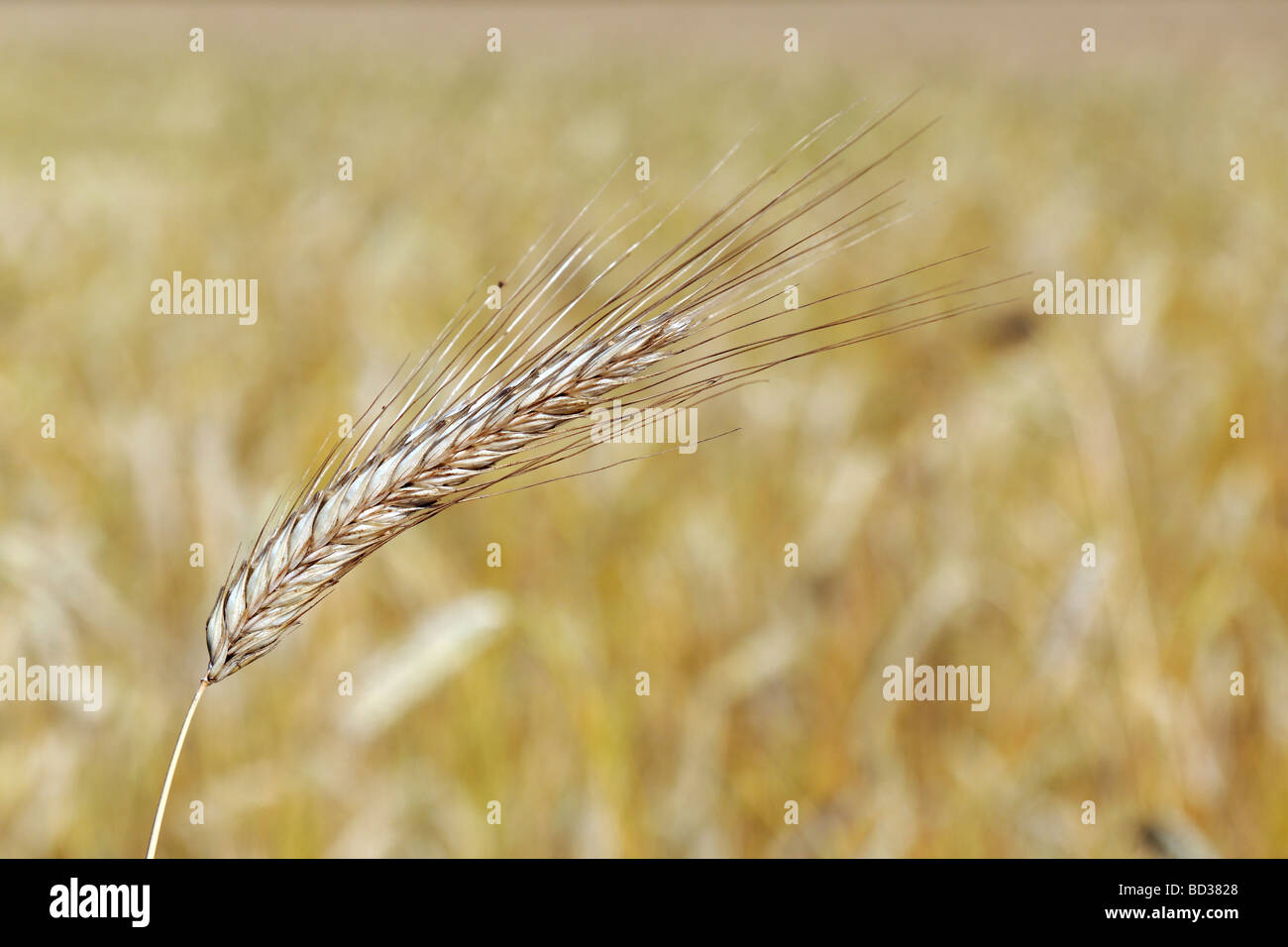 Ear of wheat ready to be harvested Stock Photo