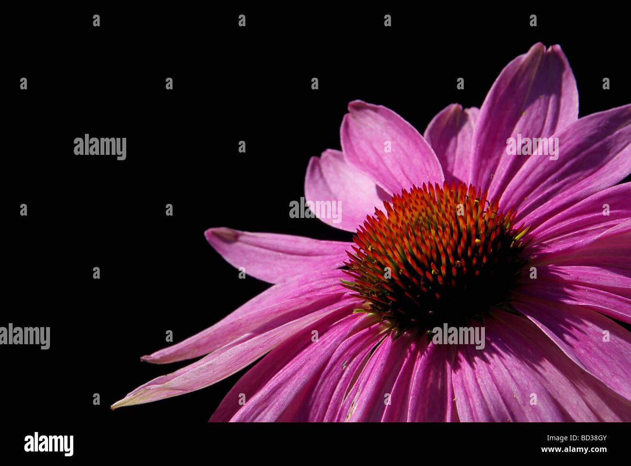 Sonnenhut Purpur Purple Coneflower 08 - Stock Image