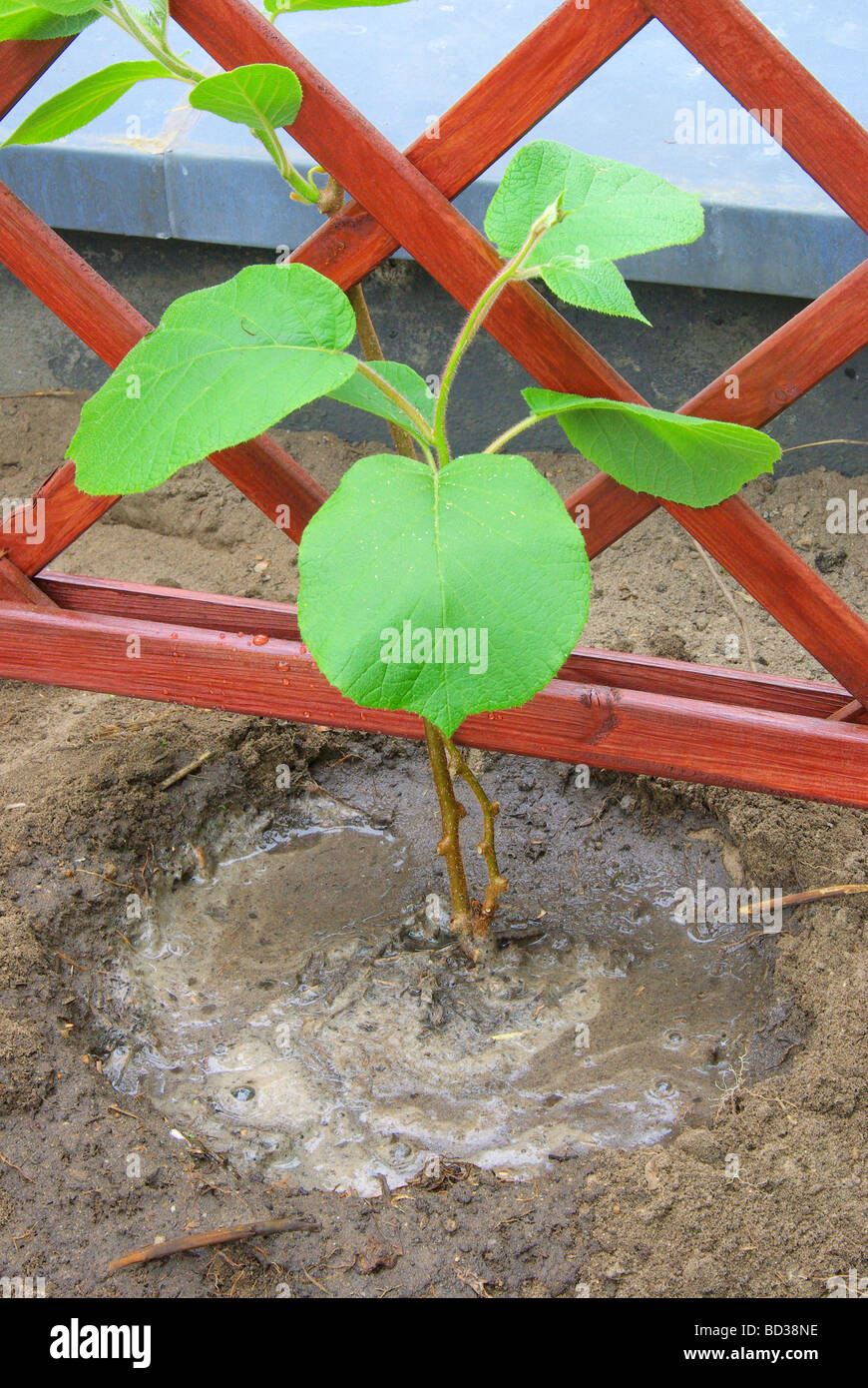 Kiwipflanze pflanzen planting a kiwi plant 10 - Stock Image
