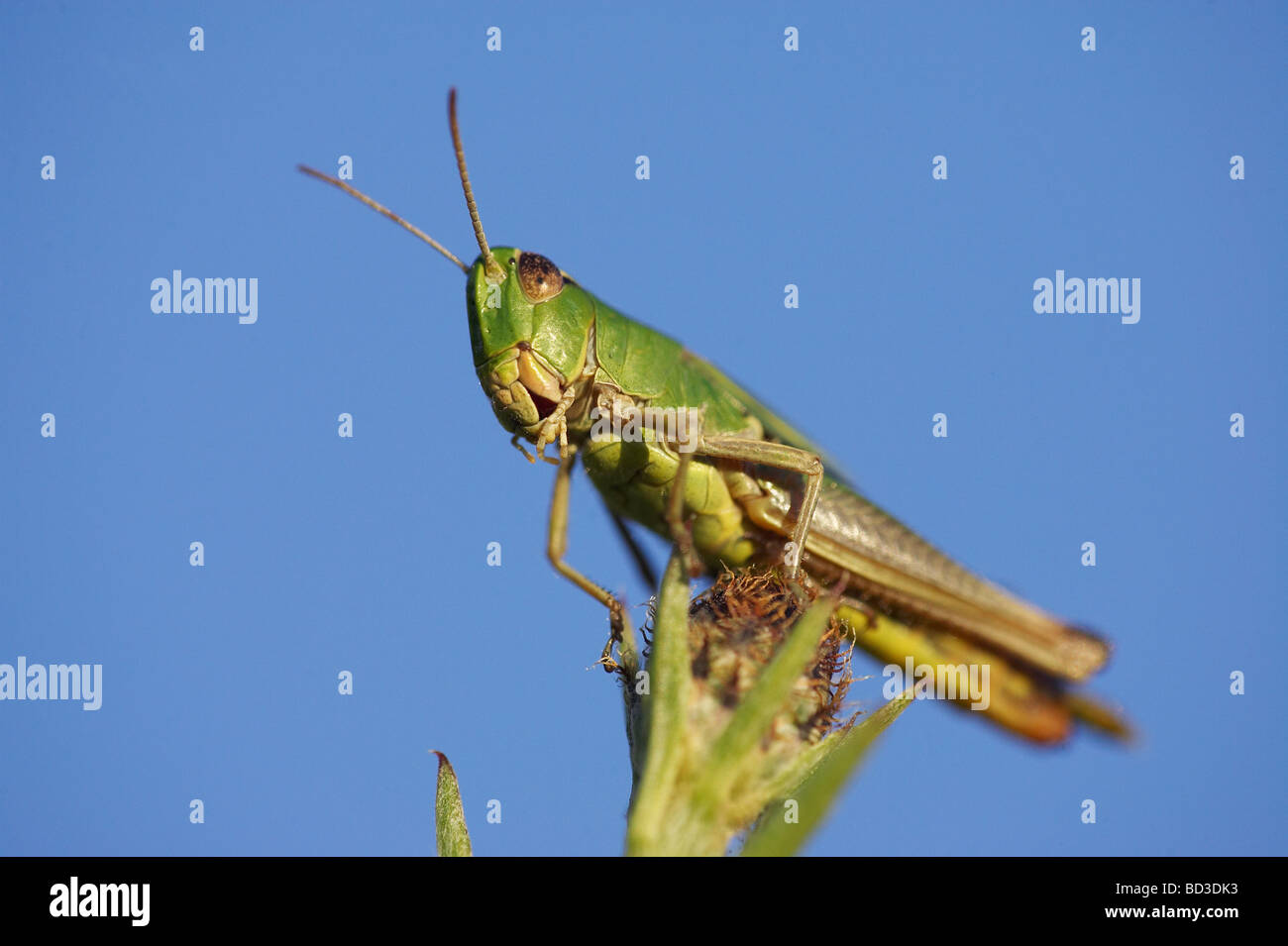 Common Meadow Grasshopper (Chorthippus parallelus), male resting on flower head - Stock Image