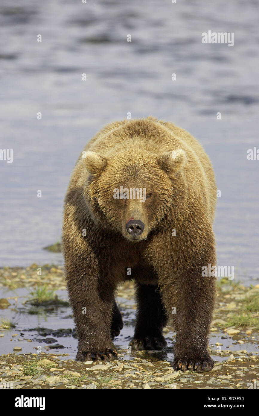 Grizzly Bear (Ursus arctos horribilis) in front of tidal creek - Stock Image
