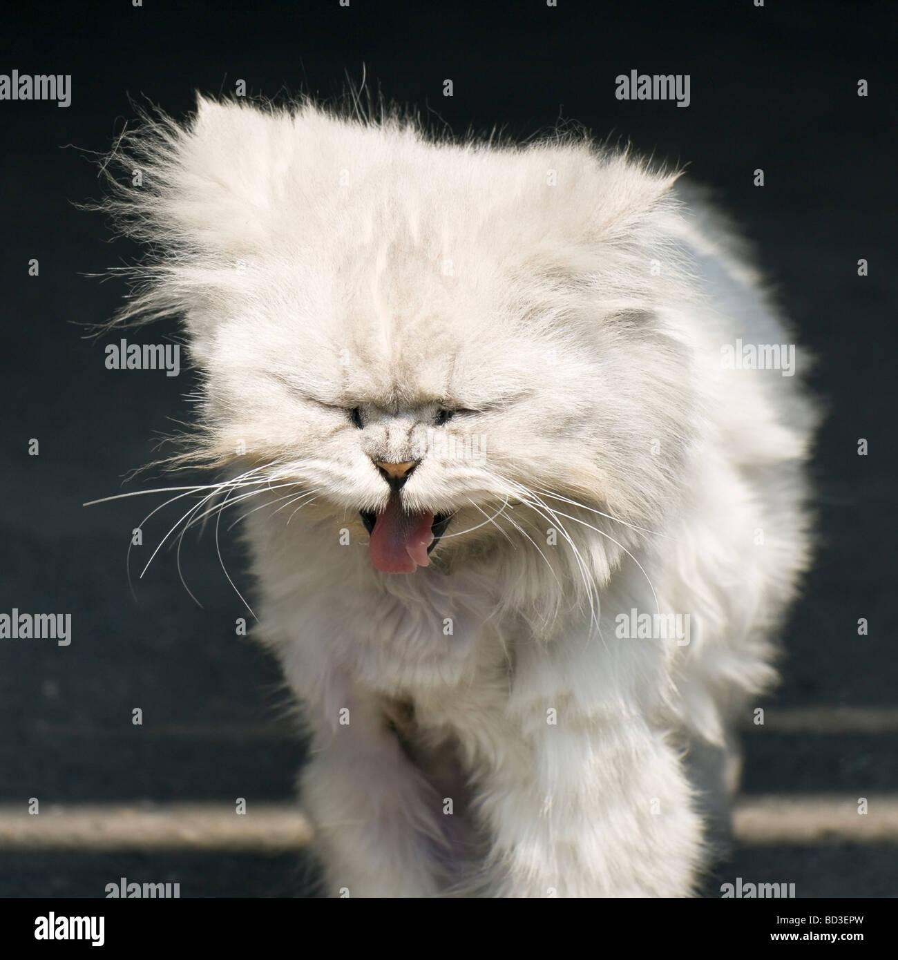 a siberian white cute cat yawning - Stock Image