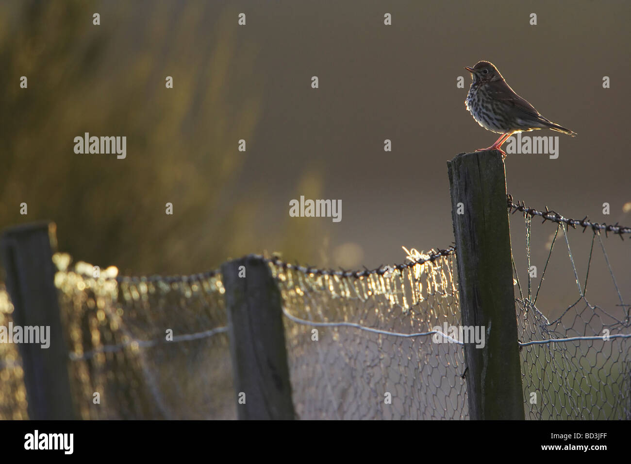 Song Thrush (Turdus philomelos) perched on fence post in late evening light - Stock Image
