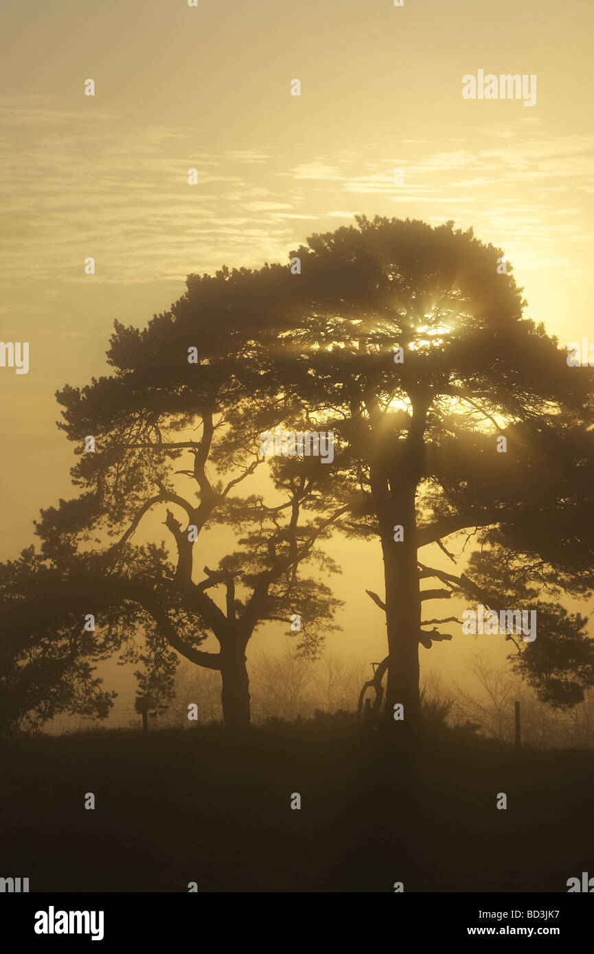 Scots Pine (Pinus sylvestris) silhouetted at sunrise on misty morning - Stock Image
