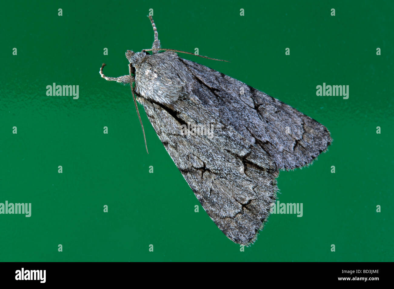 Grey Dagger Acronicta psi Noctuidae Stock Photo