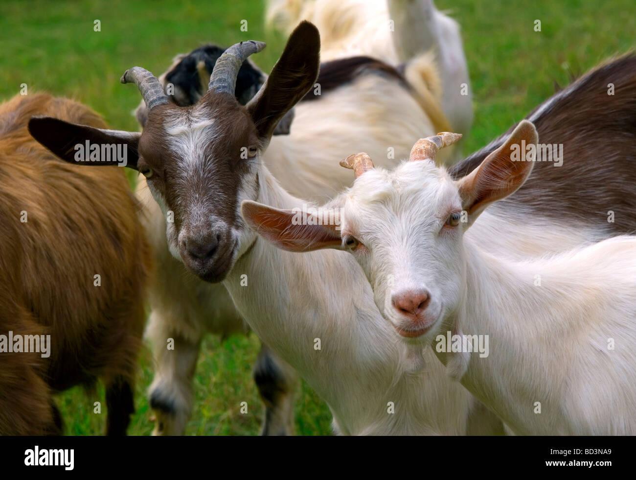 Goats - Stock Image