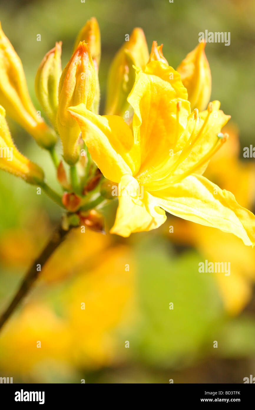 gorgeous colour flower soft ethereal and elegant azaleas fine art photography Jane Ann Butler Photography JABP501 - Stock Image