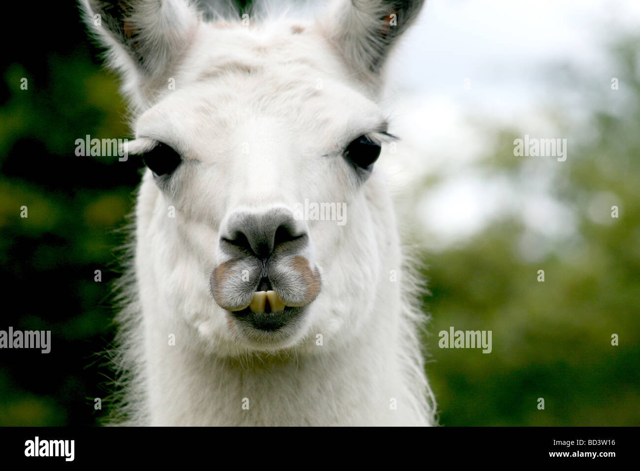 Beautiful White Llama Of Mudchute Park And Farm Isle Of Dogs Stock