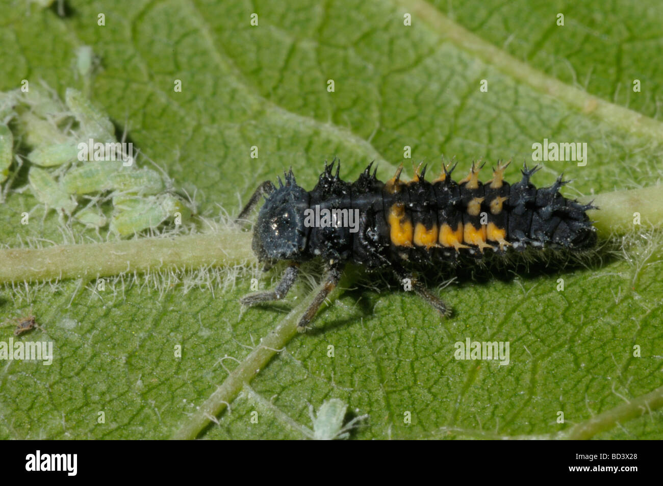 Ladybird larvae with aphids - Stock Image