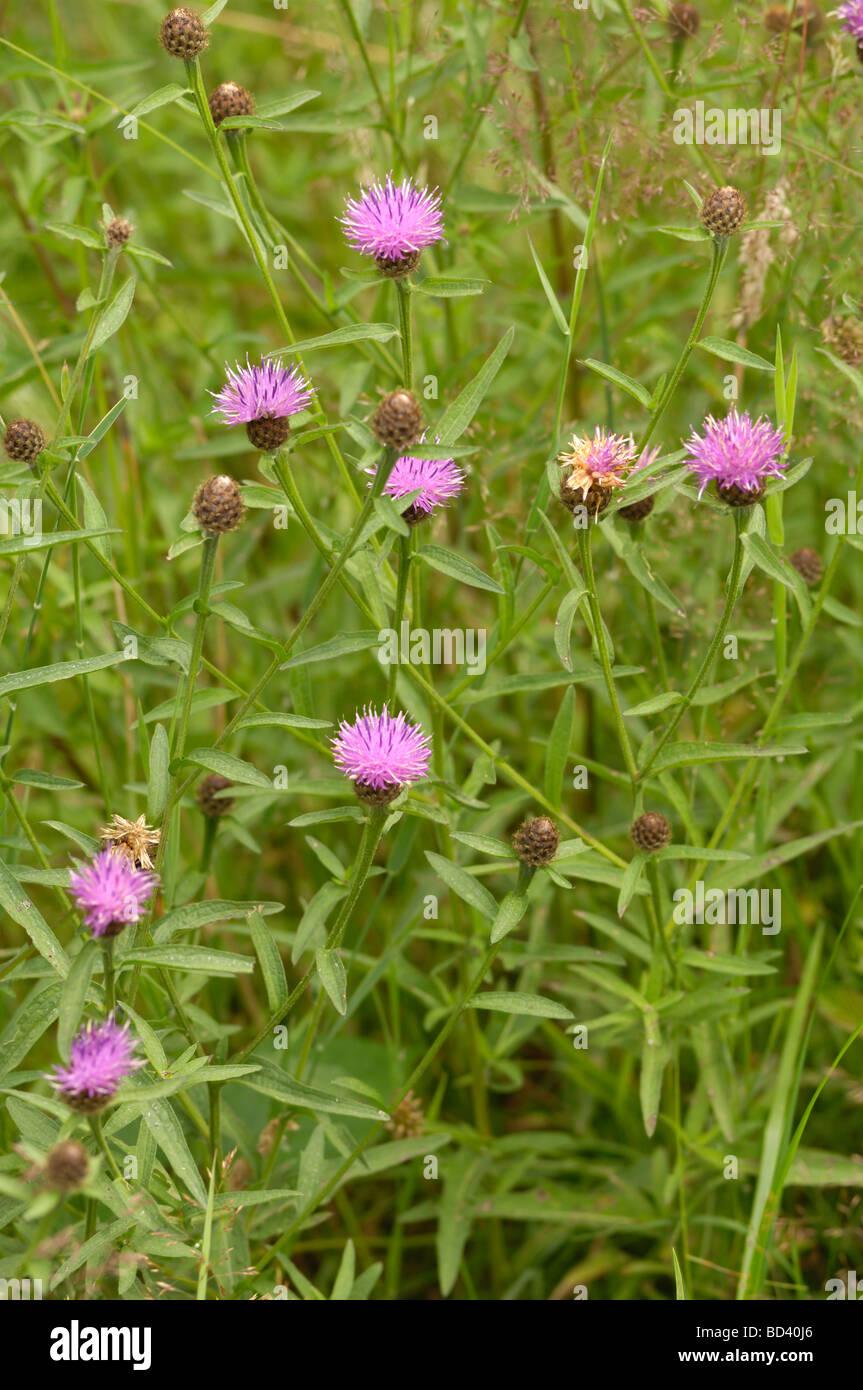 Common Knapweed, Centaurea nigra, wildflower in roadside / grassland meadow, Scotland - Stock Image