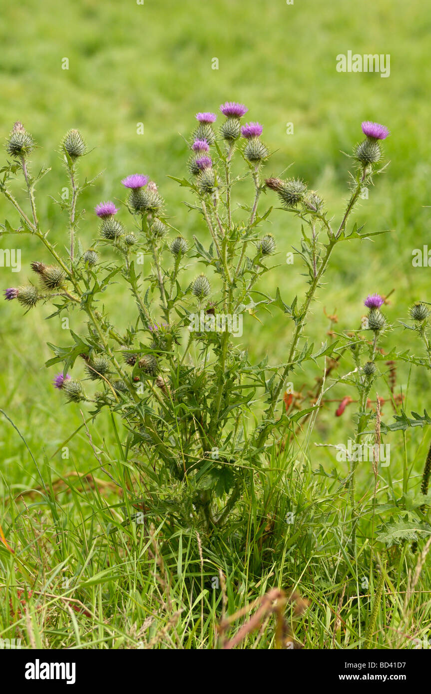 Spear Thistle, Cirsium vulgare, wildflower in grassland meadow, Scotland - Stock Image