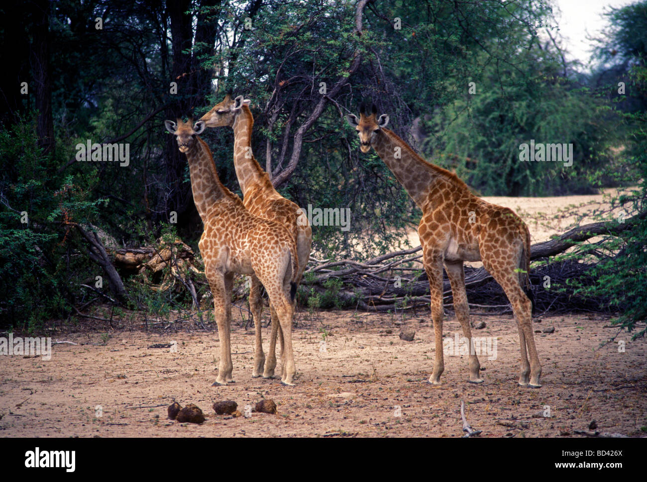 giraffe, giraffes, long legs, long neck, Hwange National Park, Matabeleland North Province, Zimbabwe, Africa Stock Photo