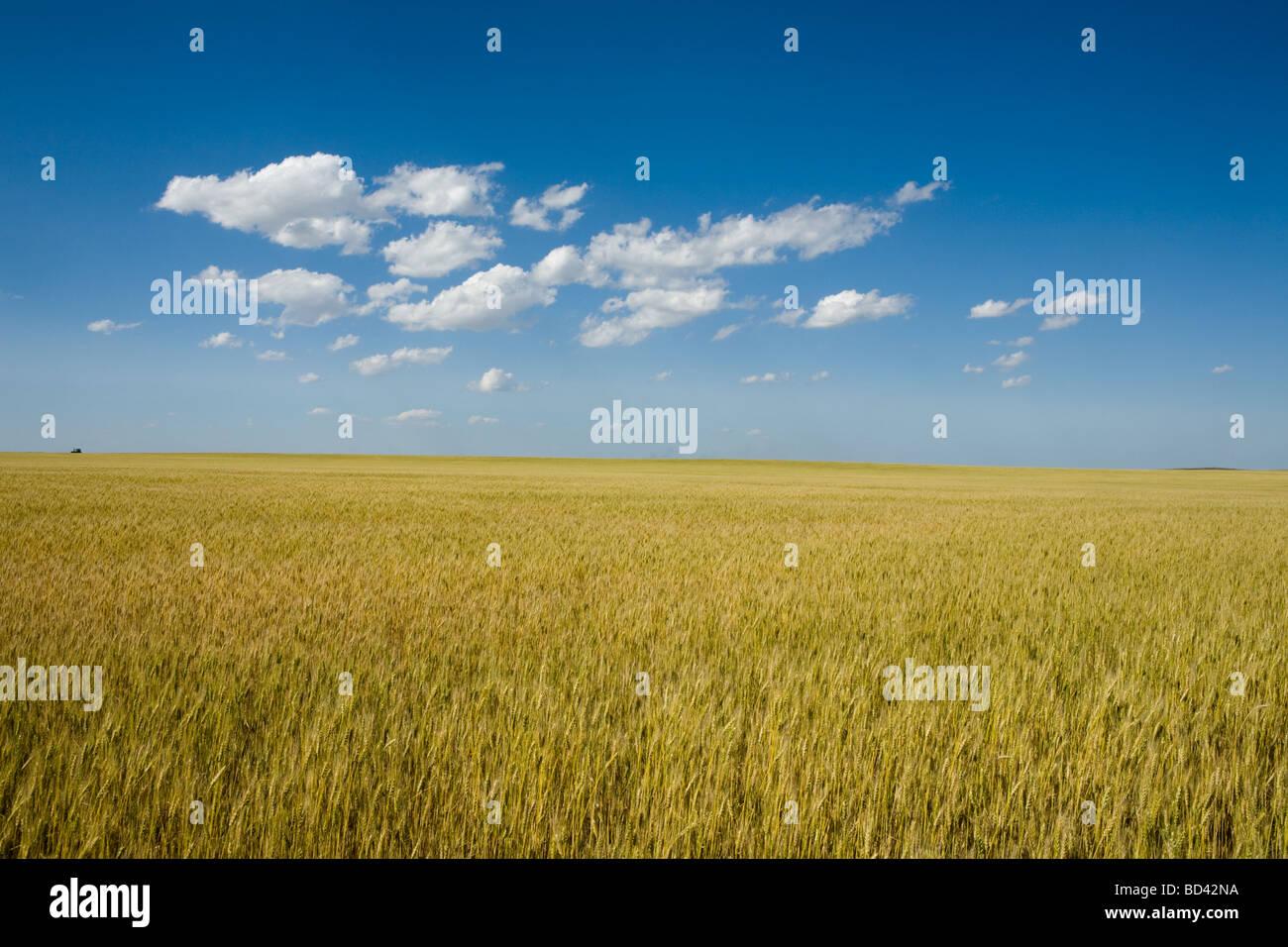 Golden wheat growing in western Nebraska thresher on horizon breadbasket of USA - Stock Image