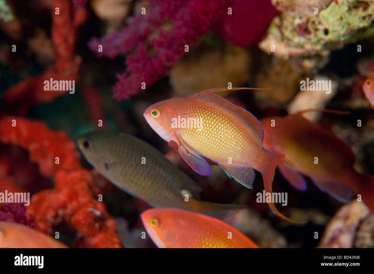 Anthias fish swim over the coral in the Red Sea. - Stock Image