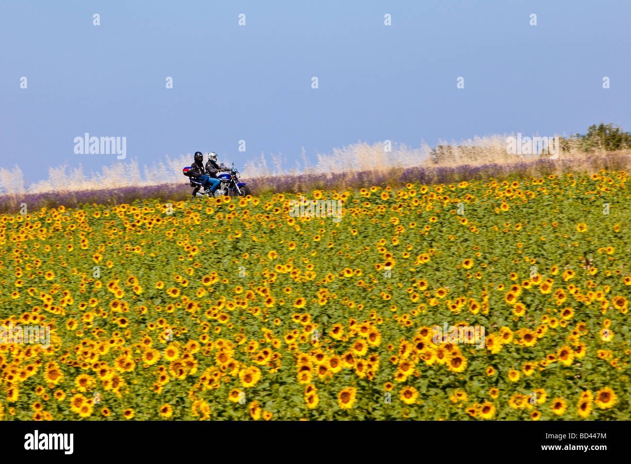 Easy-Riding through sunflower and lavender fields, Valensole Provence France - Stock Image