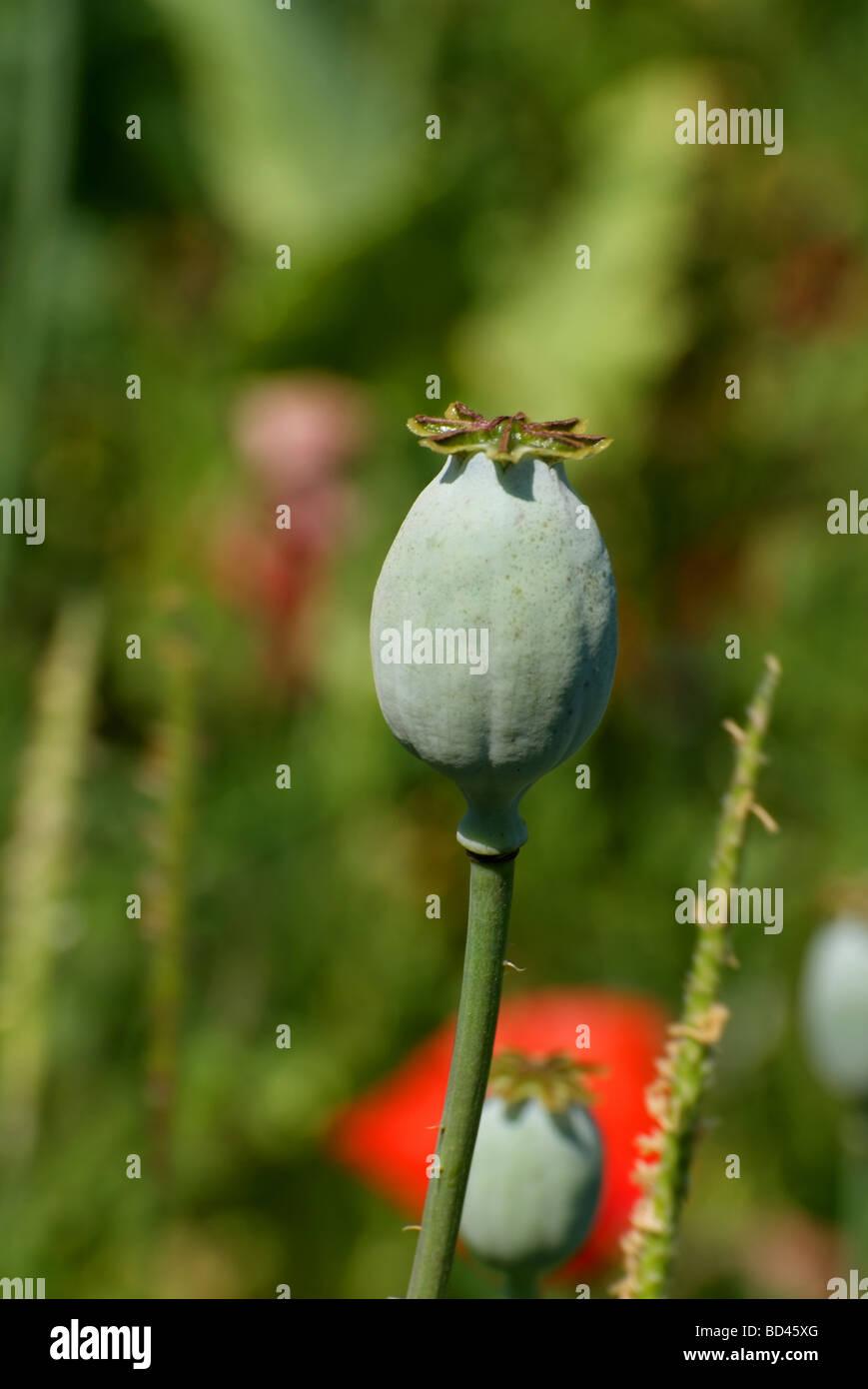 Poppy Seed Pod Stock Photos Poppy Seed Pod Stock Images Alamy